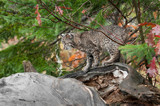 Bobcat Kitten (Lynx rufus) Climbs About on Log