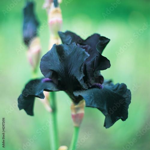 Poster Iris Iris barbatus flower