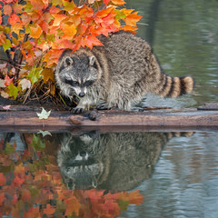 Raccoon (Procyon lotor) With Reflection Looking Right