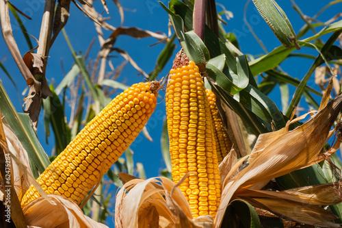 Fotobehang Granen Corn field