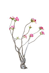 isolated white background of Desert Rose; Impala Lily; Mock Azal