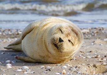 Young Harbor seal, sleeping on a sandbank