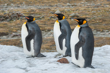 King penguin in South Georgia, Antarctica