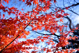 Japanese red Maple tree.