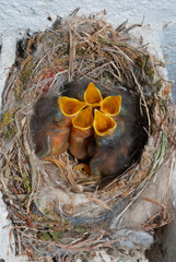 bird nest with five hungry chicks