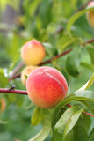 Peach fruits growing on peach tree branch.