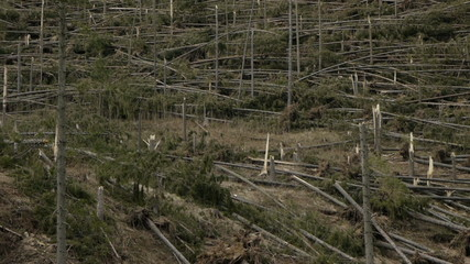 forest laid down by a tornado