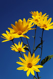 Yellow topinambur flowers (daisy family) against blue sky