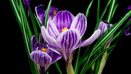 Violet crocuses flowers blooming and fading timelapse