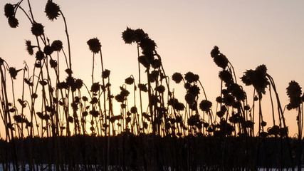 Dried sunflowers winter. Time Lapse