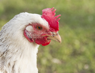 Close up portrait of a white Sussex chicken