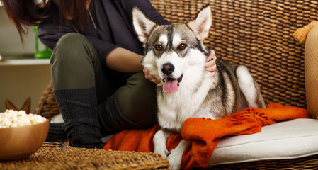 Cute Siberian Husky on couch