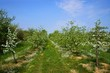 Orchard, blooming apple trees, spring