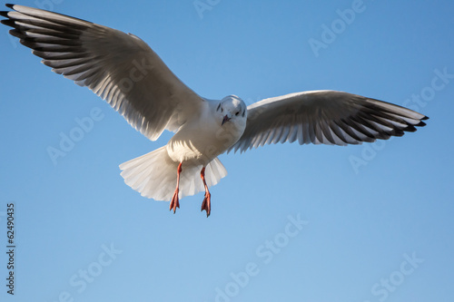 Fly sea gull