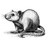 illustration of engraving rat on white background
