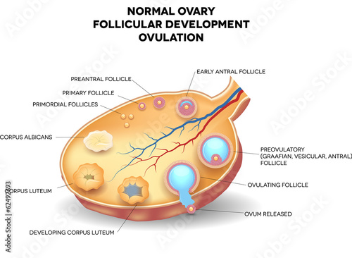 Normal ovary, follicular development and ovulation