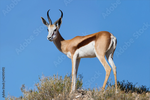 Poster Antilope Beautiful springbok ram standing on ridge in the Kalahari agains