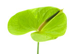 green Anthurium,