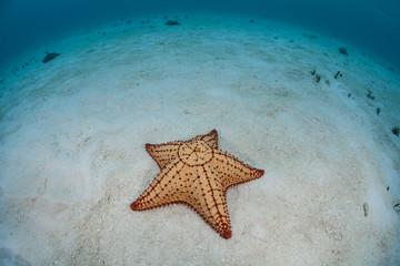 Caribbean seastar