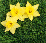 Spring Narcissus Flowers. Yellow Daffodils on green grass
