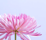 Pink chrysanthemum flower on blue background