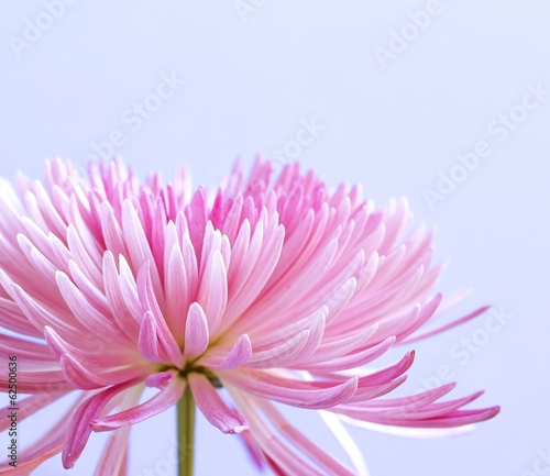 Foto op Canvas Madeliefjes Pink chrysanthemum flower on blue background