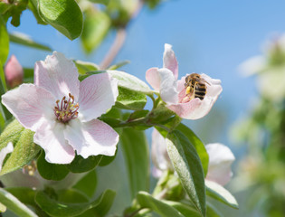 Honeybee on quince flower