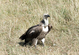 A African White-backed Vulture sitting on the grass