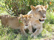 A lion cub and the mother resting near bush