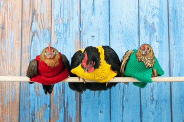 Chickens with colorful sweaters in henhouse