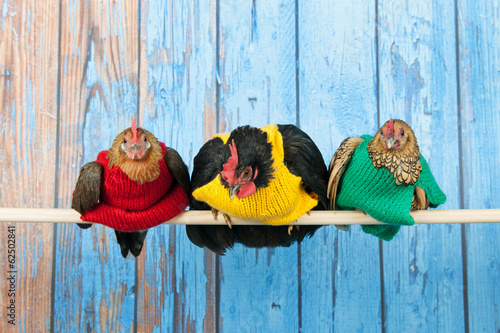 Tuinposter Kip Chickens with colorful sweaters in henhouse