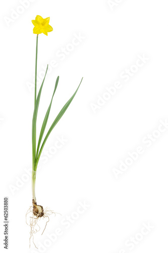 Fotobehang Narcis Daffodil plant, isolated on white
