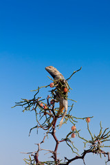 Male of steppe agama at rest