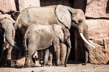 African Elephants with their trunks
