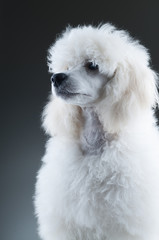 Portrait of the white poodle