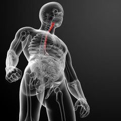 3d rendered illustration of the esophagus - bottom view