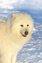 Dog Samoyed on snow