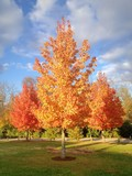 Autumn maple trees at park