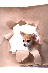 chihuahua and paper hole