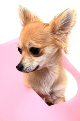 small sweet valentine chihuahua