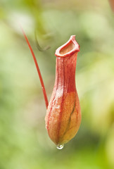 common nepenthes