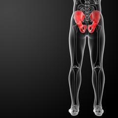 3d render illustration pelvis bone - back view