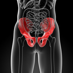 3d render illustration pelvis bone - front view