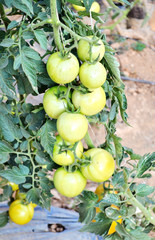 Close up of fresh  tomatoes still on the plant
