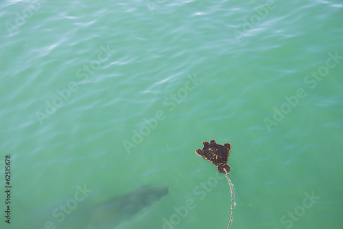 A Great White Shark Stalking a Decoy and Bait in the Ocean