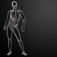 3d render gallblader and pancrease - front view