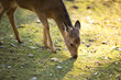 Sika deer (lat. Cervus nippon)
