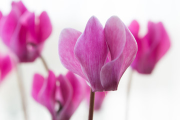 Pink cyclamen flowers isolated on white background