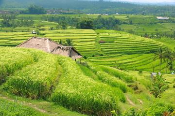 Bali Jatiluwih Rice Terraces field