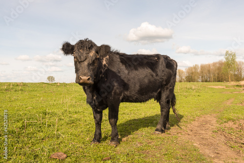 Curiously looking black cow standing alone